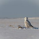 Snowy Owl In A Snow Covered Field by Thomas Young