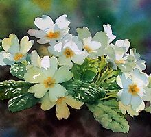 Backlit Primroses by Ann Mortimer