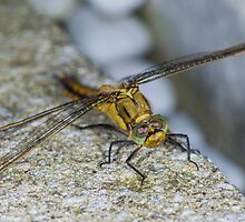 Dragonfly by Mark Bangert
