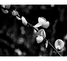 Black & white may flower Photographic Print