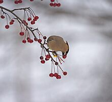Cedar Waxwing Eating Berries 1 by Thomas Young