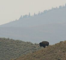 Bisons in the  wild west by florencefraikin