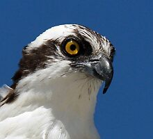 Osprey profile 2 by jozi1