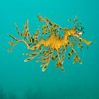 Leafy Seadragon. by James Peake Nature Photography.