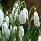 Snowdrops by kostolany244
