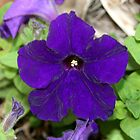 Purple Petunia by Segalili