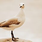 Ivory Gull  by Trish Threlfall
