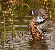 Blue-winged Teal by Ram Vasudev