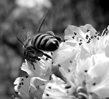 HONEY BEE ON A BLOSSOM (2) by Sandra  Aguirre