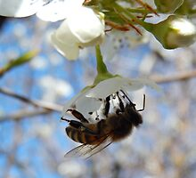 HONEY BEE ON A BLOSSOM (4) by Sandra  Aguirre
