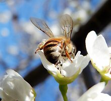HONEY BEE ON A BLOSSOM (13) by Sandra  Aguirre