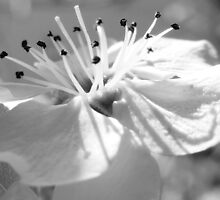 BLOSSOM IN BLACK 'N' WHITE by Sandra  Aguirre