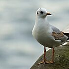 Black-headed Gull by VoluntaryRanger