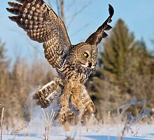 Great Grey Owls 2 by Owl-Images