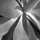 Agave Shadows by David Schroeder