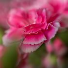 Pink Carnations by KatMagic Photography