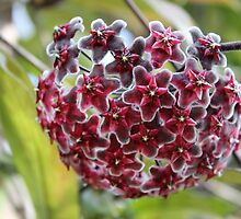 Hoya bicarinata by Kelly Morris