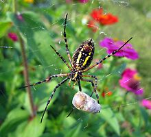 Garden Spider by alfalfascout