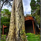 Gum tree by andreisky