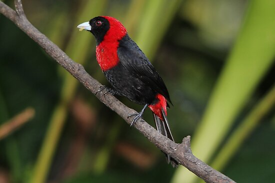 Crimson-collared Tanager by hummingbirds