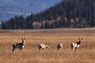 Where the Deer and the Antelope Play by Ann  Van Breemen