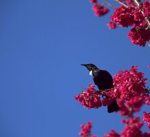 And a Tui in a cherry tree 2 by terraincognita