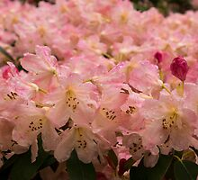 Pastel Coral Azaleas, Refreshed by the Rains by Georgia Mizuleva