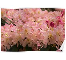 Pastel Coral Azaleas, Refreshed by the Rains Poster