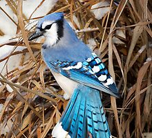 Blue Jay by Bill Wakeley