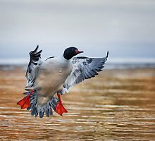 Common Merganser Drake  by Bill Wakeley