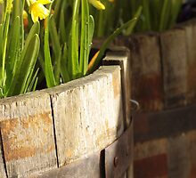 Daffs in tubs by MagsArt