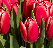 Red tulips close up by LacoHubaty