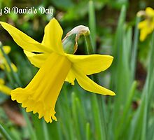 Daffodils - St David's Day Card by Paula J James
