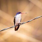 Violet-crowned Hummingbird in Patagonia, AZ by Robert Kelch, M.D.