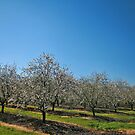 Almond Trees by Nira Dabush