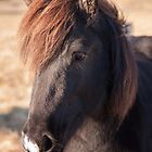 Icelandic Horse by Christopher Cullen