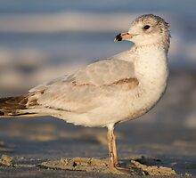 Ring-billed Gull (Larus delawarensis) by Liam Wolff