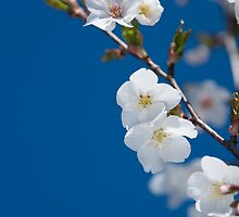 White Blossom by Anne Gilbert