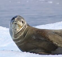 Leopard Seal Resting on an Ice Floe by Carole-Anne