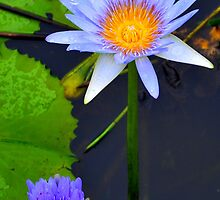 Waterlilies on the Lagoon by Sally Murray