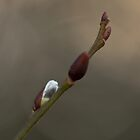 Spring Buds by Robert Carr