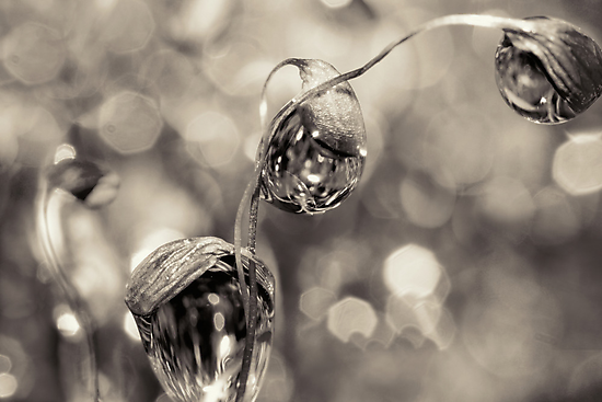 Moss Drops in B&W by Sharon Johnstone