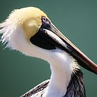 Juvenile Brown Pelican by Paulette1021