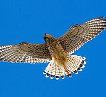 Kestrel in flight by chris2766