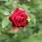 The last Rose by AbigailJoy
