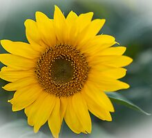 Sweet Sunflower by Rose Hamilton-Barr