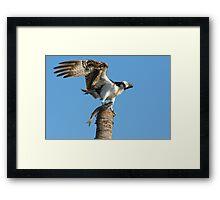 Osprey with dinner for his family Framed Print