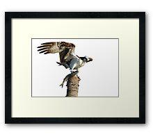 Osprey with dinner for his family on white Framed Print
