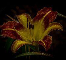 Wet Daylily by Rose Hamilton-Barr