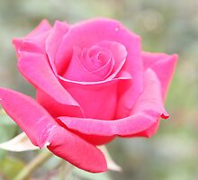 Pink Rose by Jennifer Treloar